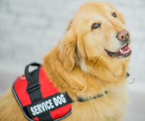 "Picture of a golden retriever wearing a red harness that reads ""service dog"""